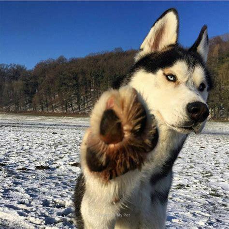 Siberian Husky Beautiful Funny Photo Face. Follow to see ...