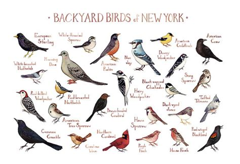new york backyard birds field guide art print watercolor