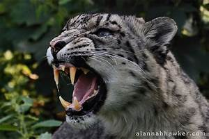 Snow Leopard Snarl by Alannah-Hawker on DeviantArt