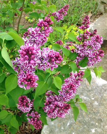 Pruning Spring Flowering Shrubs  Msu Extension