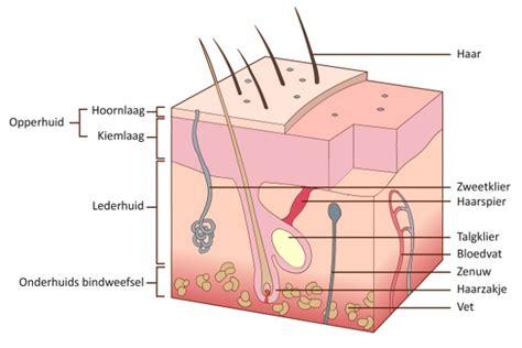 wat doet collageen in je lichaam