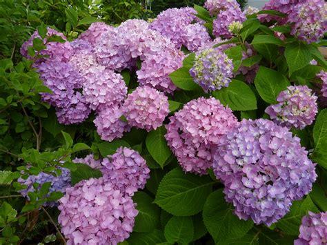 hydrangea flower flat bottom flowers hydrangea heaven