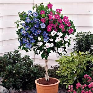 Winterharte Kübelpflanzen Hochstamm : hibiskus trio auf einem geflochtenem st mmchen online ~ Michelbontemps.com Haus und Dekorationen
