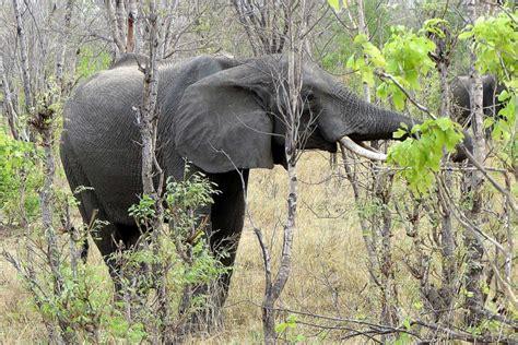keystone species definition ecosystem elephant animal africa role functions under elephants