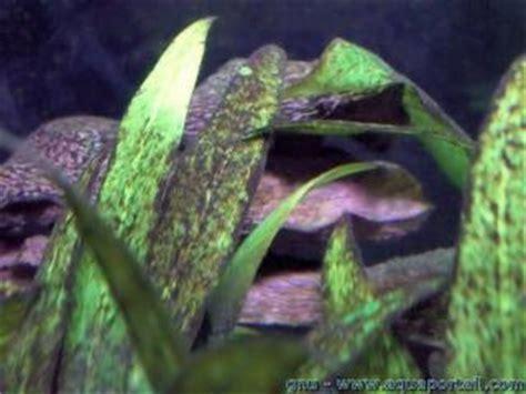 algues noires d 233 finition synonymes
