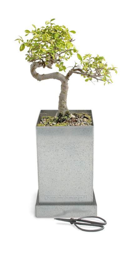 potting shed creations buy potting shed creations japanese elm bonsai specimen