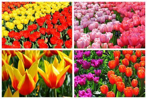 tulpen aus amsterdam keukenhof jo igele reiseblog jo