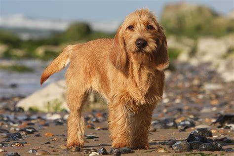B Et Fauve De Bretagne Dog Breed Information American