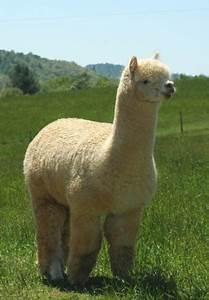 13 best lama images on Pinterest   Llamas, Wild animals ...