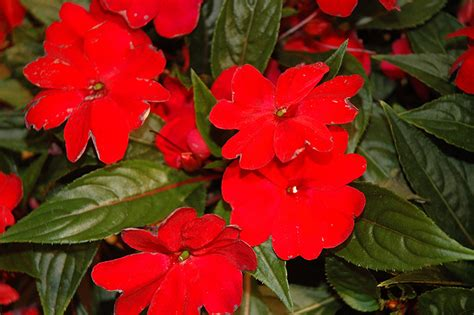 Florific Red New Guinea Impatiens (Impatiens hawkeri