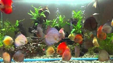 discus fish varieties youtube