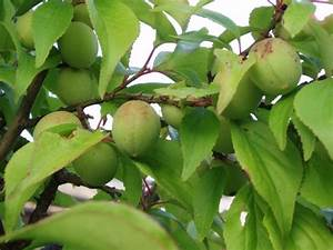 Taille De L Abricotier : abricotier du japon prunus mume taille bouturage entretien ~ Dode.kayakingforconservation.com Idées de Décoration