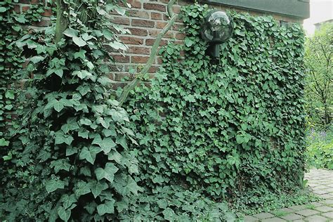Efeu Schnell Wachsende Sorte by Immergr 252 Ne Kletterpflanzen Kletterpflanzen Ratgeber