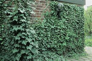 Kletterpflanzen Immergrün Winterhart : immergr ne kletterpflanzen kletterpflanzen ratgeber ~ Michelbontemps.com Haus und Dekorationen