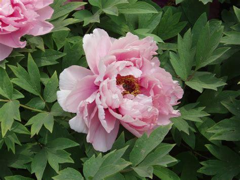 pianese flowers peony wikiwand