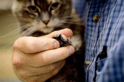 cat declawing san francisco declawed cats zuercher eric front why animal adoption paw care ban declaw bans follows sf ny