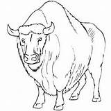 Buffalo Coloring Bison Pages Water Angry Printable American Getcoloringpages Bisons Native Getcolorings Freeprintablecoloringpages Farm sketch template