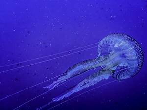 Jellyfish Insect Animal Facts & Photos  Jellyfish
