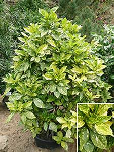 Pflanzen Schattig Winterhart : aukube aucuba g nstig in top baumschulqualit t kaufen ~ A.2002-acura-tl-radio.info Haus und Dekorationen