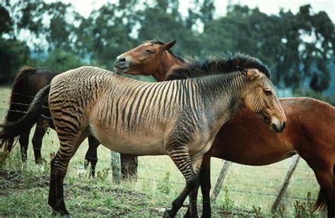 zebroid kenya animals hybrid zebroids zorse zebra horse zebras animal horses crossbred rare grevy strangest most purcell carl between cross