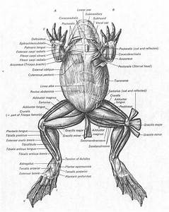 Frog Muscles Labeled