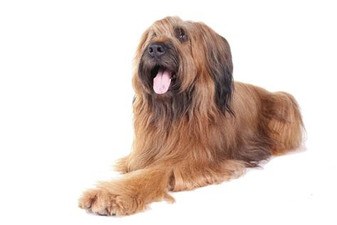 briard dogs breed information omlet