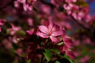 Trees with Pink Flowers That Bloom in Spring