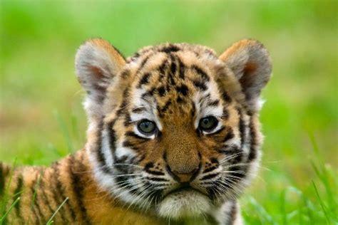 Cute Siberian Tiger Cub Facts Information