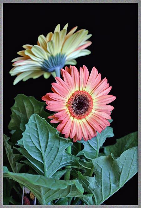 close  view   gerbera daisy