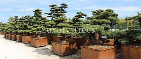 formgehoelze solitaerbaeume  kaufen luxurytrees shop
