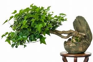 Bonsai Stecklinge Machen : hedera helix efeu als bonsai ~ Indierocktalk.com Haus und Dekorationen