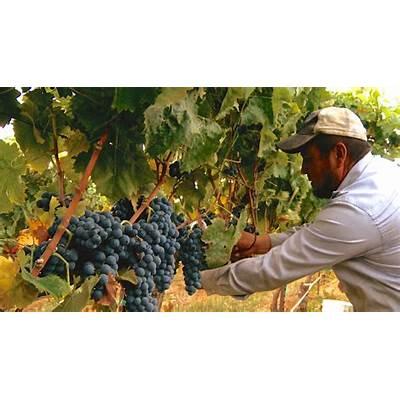 Naked FilmmakingKCRA—Nello Olivo Grape Harvest 2015