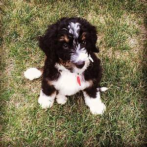 Doug the Bernese Mountain Dog, Poodle Mix ~ DogPerDay ...