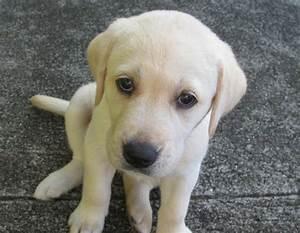 2017 Adorable Yellow Labrador Puppies Height - Dog ...