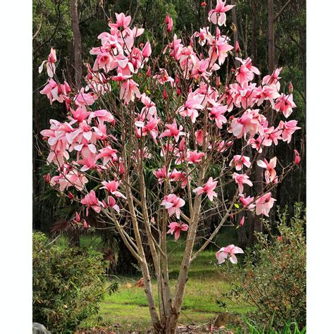 ornamental magnolia tree magnolia star wars buy star wars magnolia buy pink magnolia