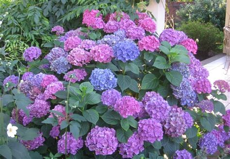 hydrangea flower care hydrangea popular ornamental plants the fancy flora