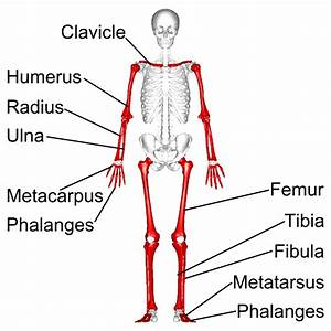 Simon Says Anatomy Flashcards