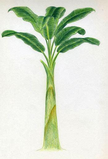 draw banana tree