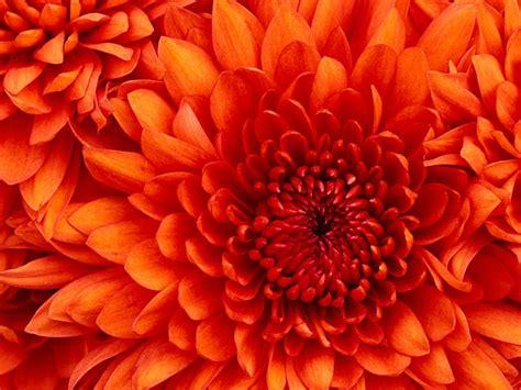 Orange Wallpaper Flower by Macro Flowers Orange Flowers Wallpapers Hd Desktop And