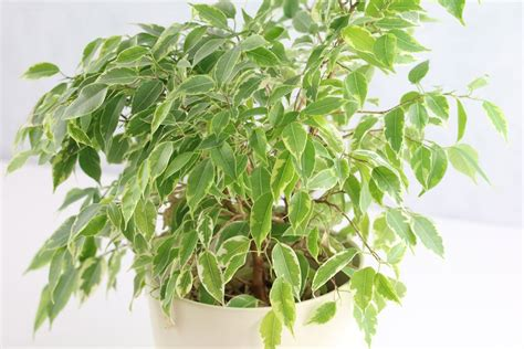 Ficus Pflanze Pflege by Birkenfeige Ficus Benjamina Pflege A Z Ugs F