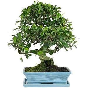 bonsai ficus pflege bonsai ficus pflege pdf