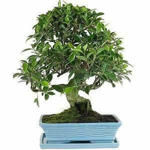Pflege Von Bonsai Bäumchen : ficus bonsai pflege ~ Sanjose-hotels-ca.com Haus und Dekorationen