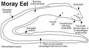 Moray Eel Printout