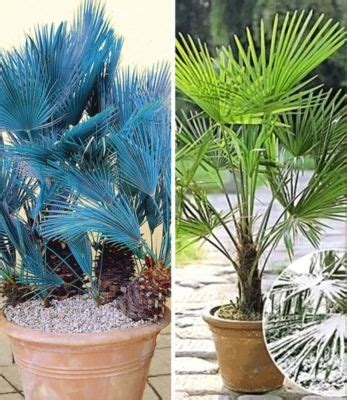 foto palme shop winterharte palmen sortiment quot winterharte k 252 bel palme und chilenische honig palme quot 2 pflanzen