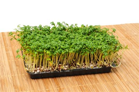 comment cuisiner le cresson cresson alénois semer et cultiver ooreka
