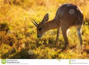 Steenbok (Raphicerus Campestris) Stock Photo - Image: 42080770
