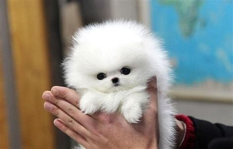 white tea cup pomeranian dog  hand picture