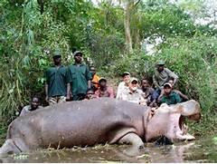 Hippopotamus Eating People The charging hippo bull   Hippopotamus Eating People