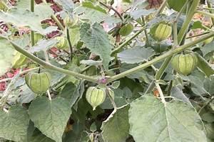 Exotische Früchte Im Eigenen Garten : physalis pflanzen aromatische beeren aus dem eigenen garten ~ Lizthompson.info Haus und Dekorationen