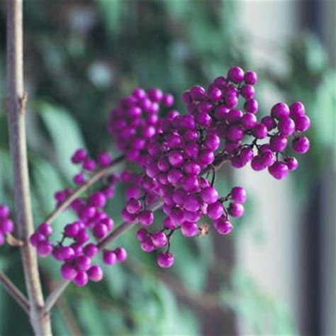 shrubs with purple berries 422 best images about trees and bushes on pinterest trees and shrubs trees and sun